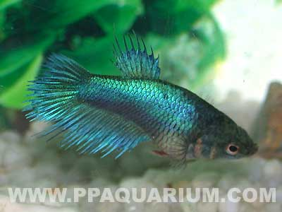Photo provided by webmaster for Female betta fish names