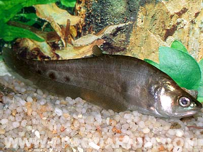Photo provided by webmaster for Clown knife fish